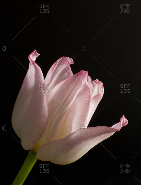 Light pink tulip in front of a dark background