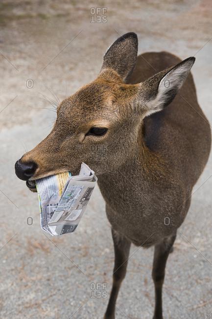 Close up deer chewing on tourist map, Nara Park, Nara, Japan