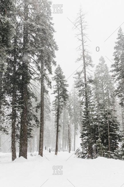 Snow covered trees, Yosemite National Park, Yosemite, California, USA