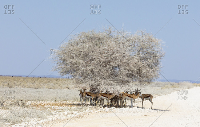 Herd of springbok standing in shade under lone tree, Etosha Pan, Namibia