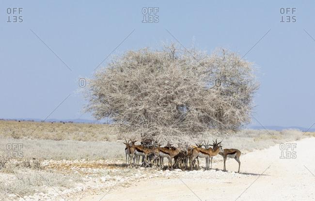 Herd of springbok standing in shade under lone tree, Etosha Pan, Namibia