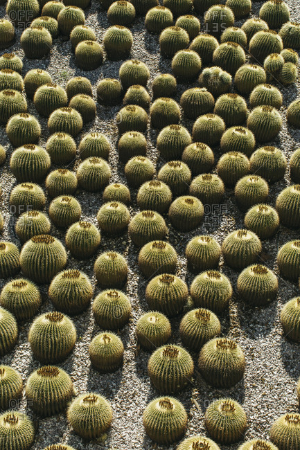 Abundance of barrel cactus in the sun
