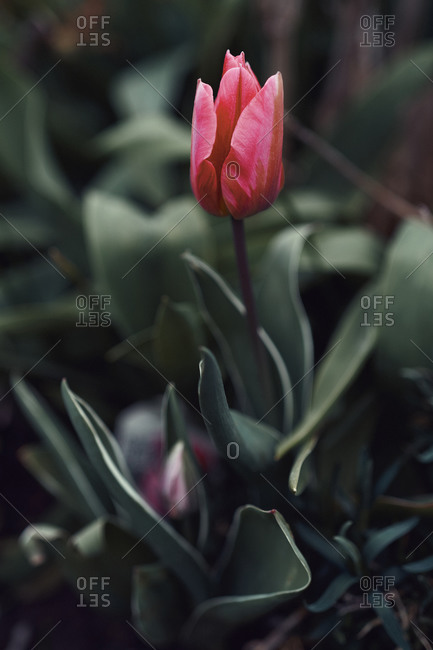 Close up red tulip