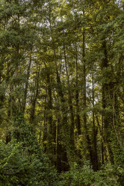 Tall trees in a dense forest