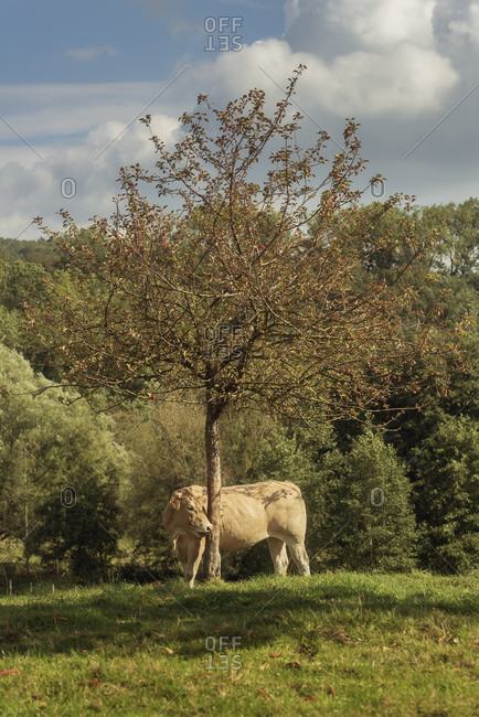 A tan cow standing under a tree for shade on a sunny day