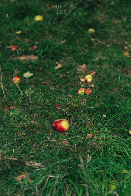 Fallen apples on the grass
