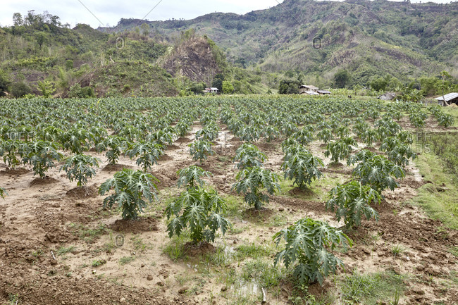 Crops growing in the highland valleys of Chittagong Hill Tracts in Bangladesh