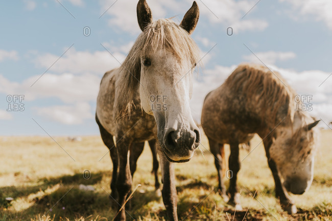 Close up of a wild horse grazing in the countryside in Bosnia and Herzegovina