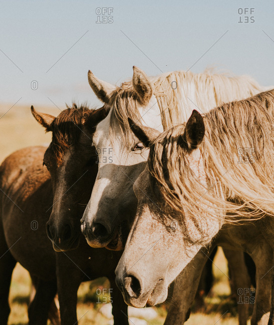 Close up of three wild horses in the countryside in Bosnia and Herzegovina