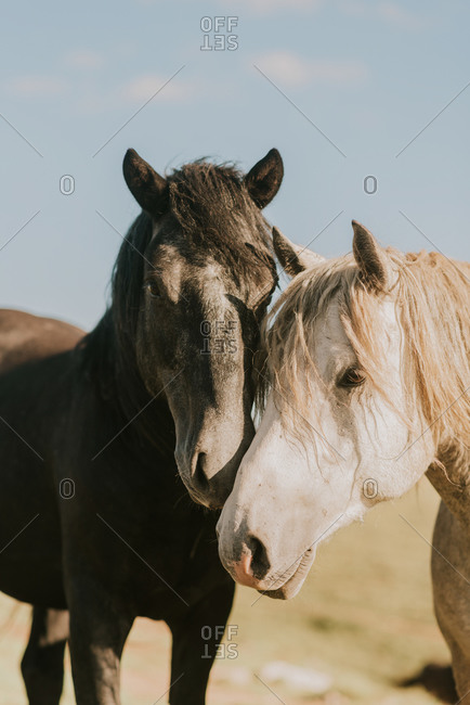 Close up of two wild horses in rural Bosnia and Herzegovina