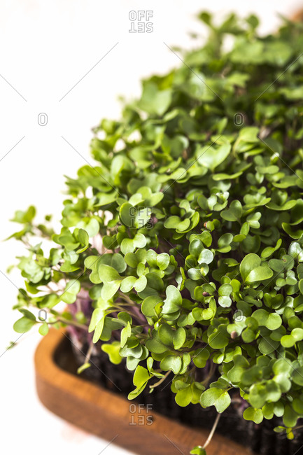 Elevated view of homegrown microgreens in wooden container on white background