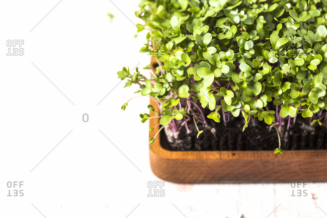 Top down view of homegrown microgreens in wooden container on white background