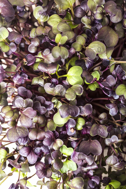 Full frame of purple and green homegrown microgreens close up