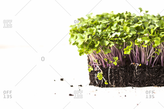 Homegrown microgreens in soil on white background