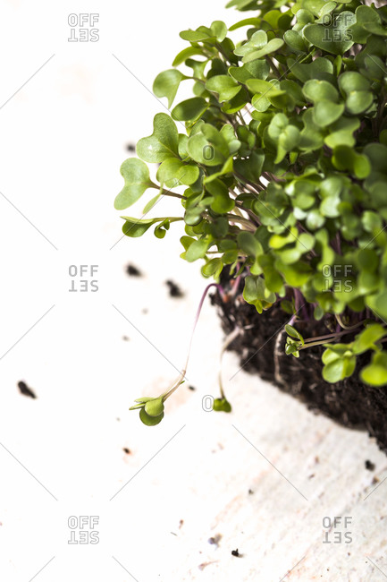 Elevated view of homegrown microgreens in soil on white background