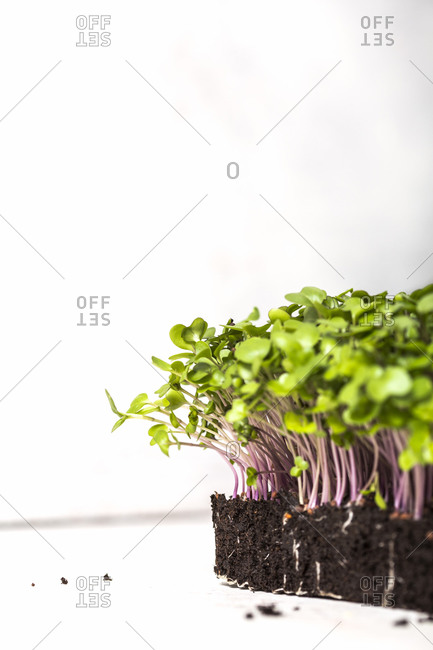 Microgreens growing in soil on white background