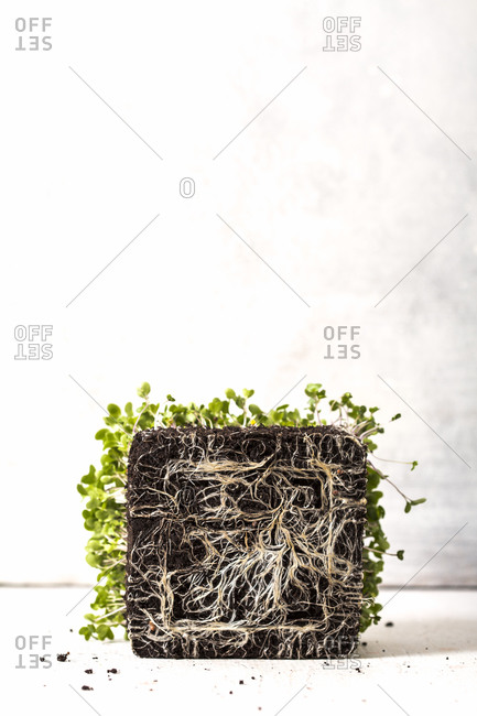 Roots in soil of microgreen plant on white background