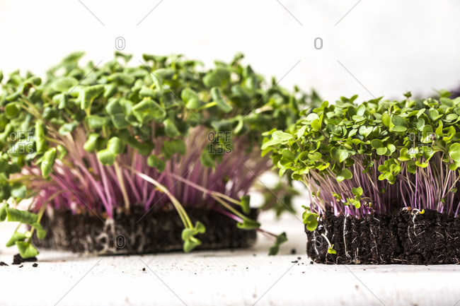 Homegrown microgreen plants on white background