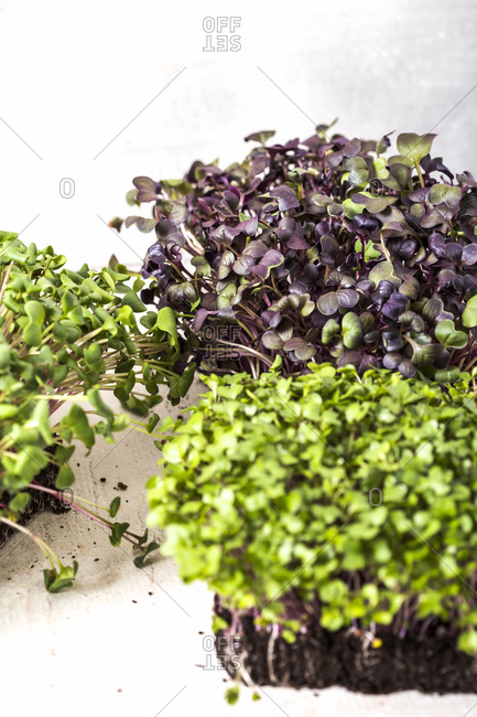 Variety of homegrown microgreen plants on white background