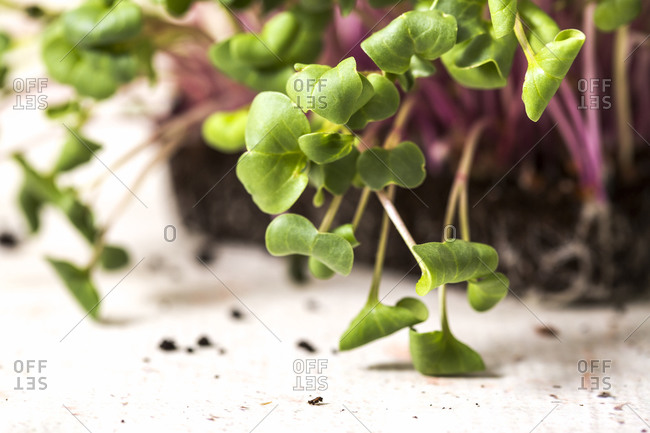 Extreme close up of homegrown microgreens