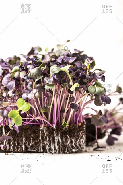 Purple microgreen plants growing in soil on white background