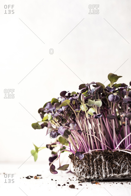 Purple microgreen plants growing in soil on white background with copyspace