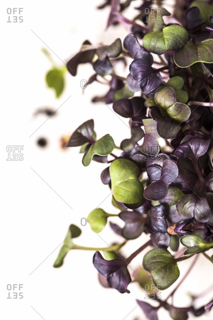 Close up of purple and green microgreen leaves