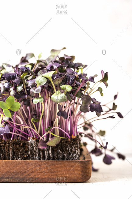 Purple homegrown microgreens in wooden container on white background