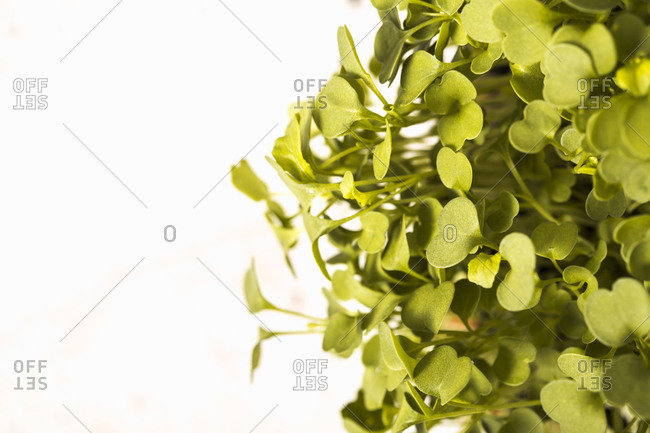 Close up of green microgreen leaves
