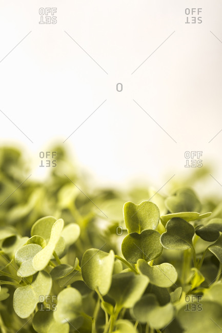 Close up of microgreen leaves with copyspace