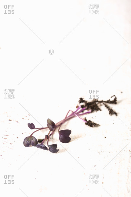 Homegrown purple microgreens on a white background
