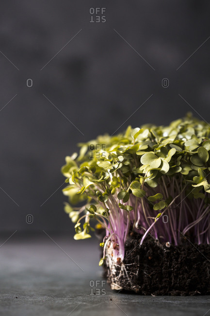 Microgreen plants growing in soil on gray background