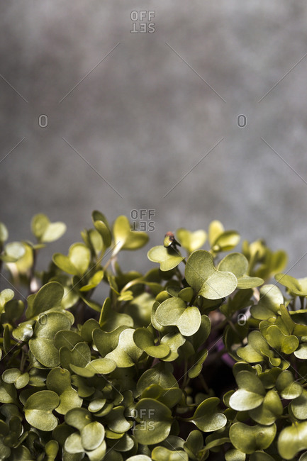 Homegrown microgreen leaves on dark background