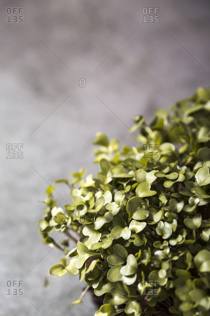 Overhead view of homegrown microgreen leaves on dark background