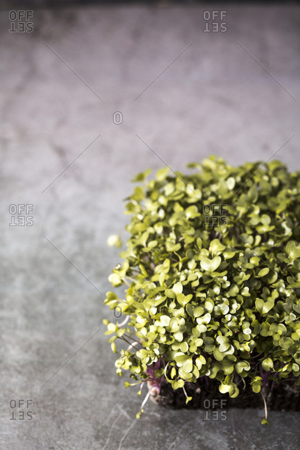 Homegrown microgreens growing in soil on gray background