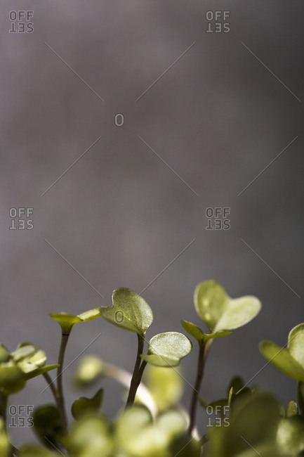 Close up of homegrown microgreen leaves on dark background