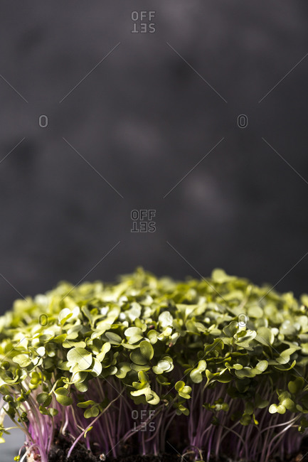 Microgreen plant on dark gray background