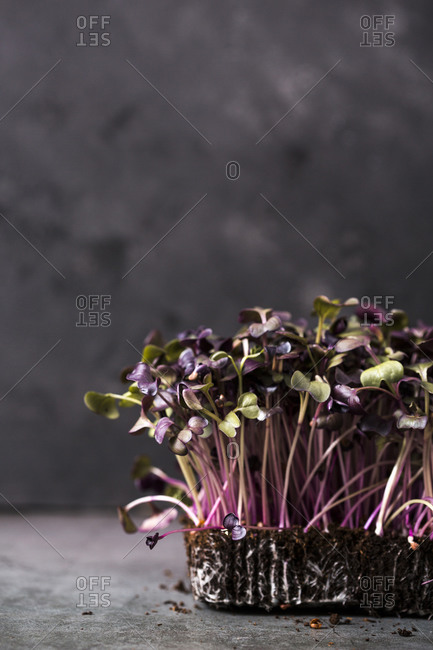 Purple homegrown microgreens growing in soil on dark background