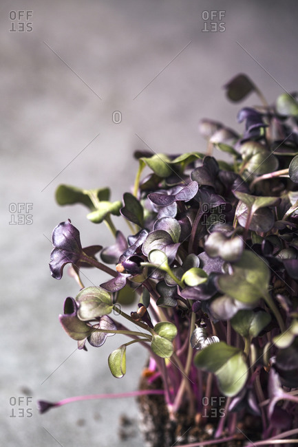 Close up of purple homegrown microgreens growing in soil on dark background
