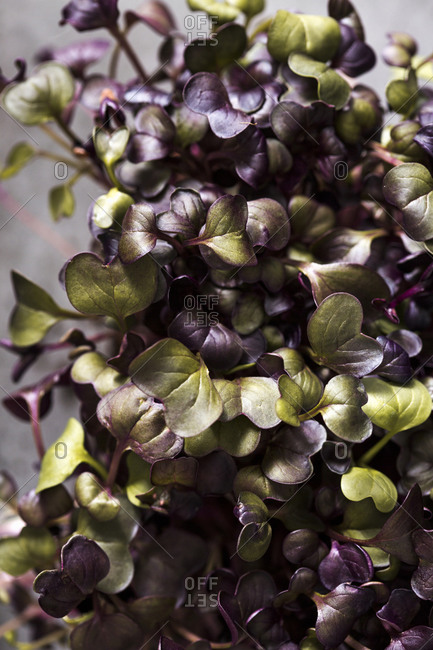 Close up of homegrown purple and green microgreens