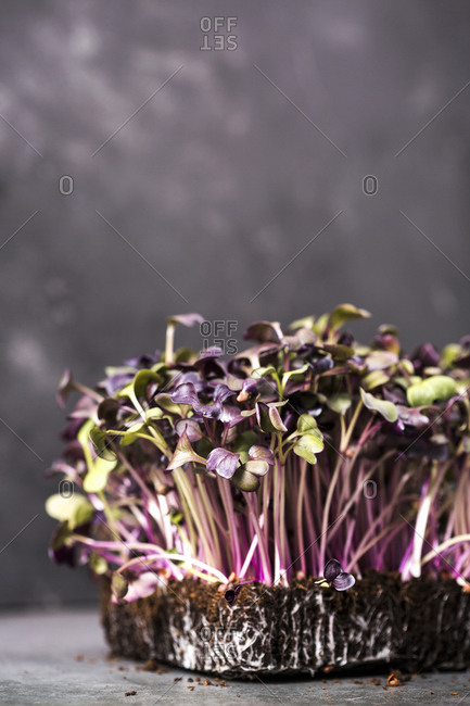Purple and green microgreens growing in soil on a gray surface