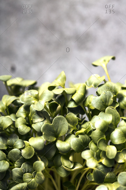 Close up of homegrown green microgreens in front of gray background