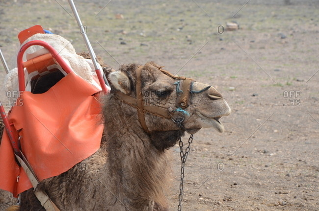 Camel wearing a saddle, close up