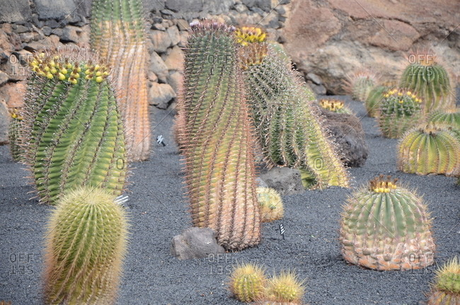 Cacti in the desert with yellow fruit