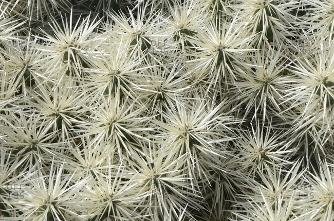 Detail of cacti with large clusters of thorns