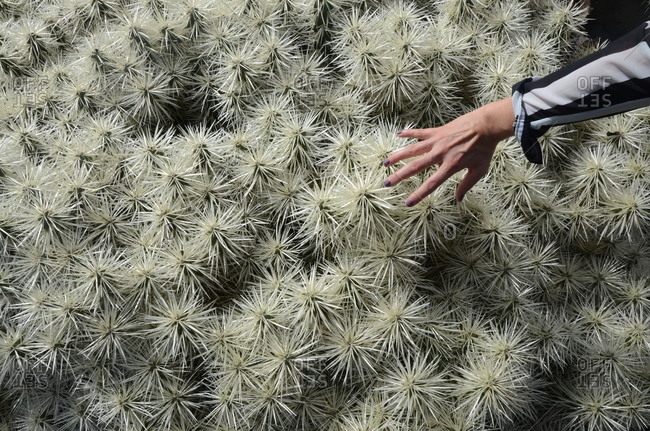 Hand reaching out to touch cacti with large clusters of thorns