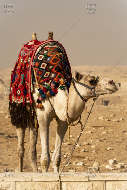 A camel stands dressed and ready for transport in Giza, Egypt