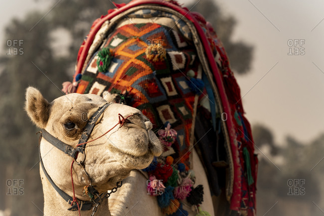 A camel stands in the desert waiting to give a ride in Giza, Egypt