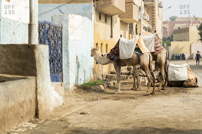 Giza, Giza Governorate, Egypt - December 21, 2017: Camels stand outside a house in Giza, Egypt