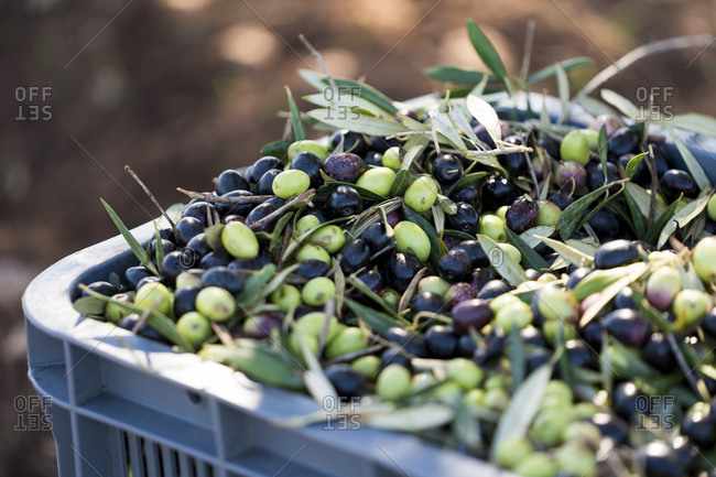 Bin of picked olives at olive orchard